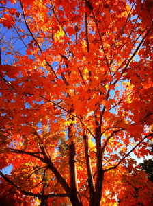 fall maple_RESIZE